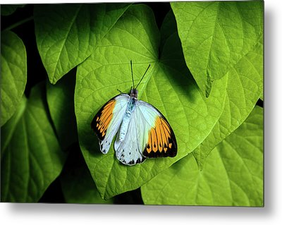 Metal Print featuring the photograph Giant Orange Tip Butterfly by Tom Mc Nemar