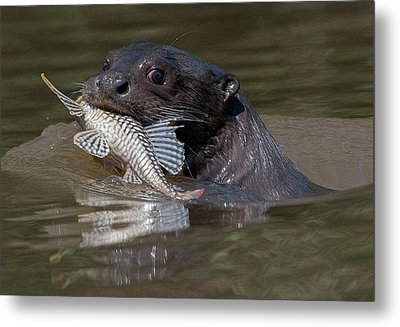 Metal Print featuring the photograph Giant Otter #1 by Wade Aiken