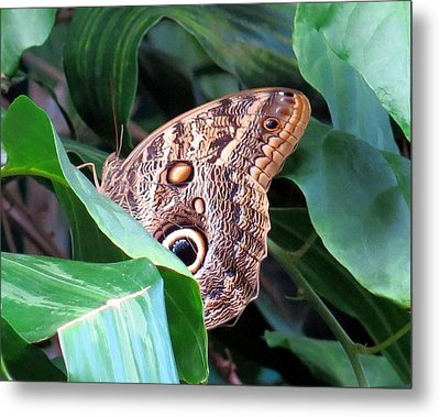Giant Owl Butterfly Metal Print by Betty Buller Whitehead