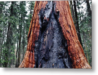 Metal Print featuring the photograph Giant Sequoia by Kyle Hanson
