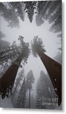 Giant Sequoias Metal Print by Gregory G. Dimijian, M.D.
