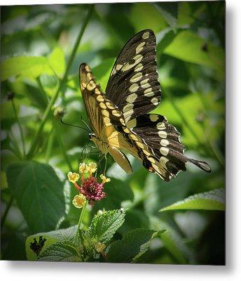 Giant Swallowtail On Lantana Metal Print