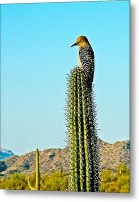 Gila Woodpecker On Saguaro In Organ Pipe Cactus National Monument-arizona Metal Print by Ruth Hager