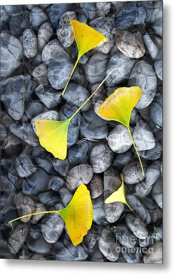 Ginkgo Leaves On Gray Stones Metal Print by Laura Iverson