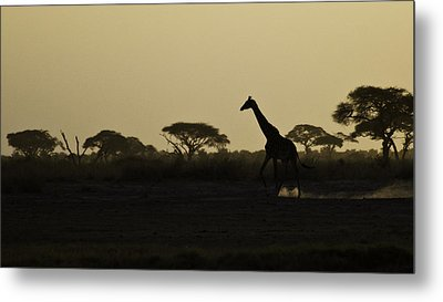 Giraffe At Sunset Metal Print by Marion McCristall