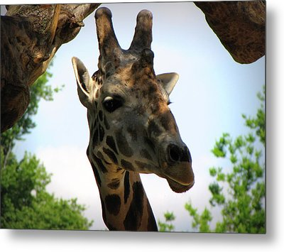 Metal Print featuring the photograph Giraffe by Beth Vincent