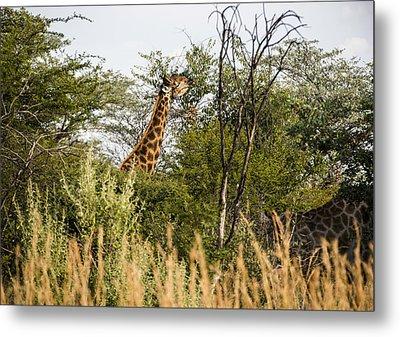 Giraffe Browsing Metal Print