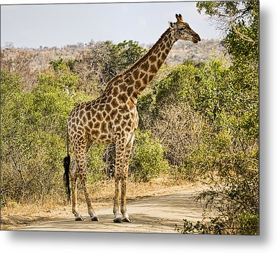 Giraffe Grazing Metal Print by Stephen Stookey