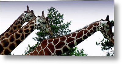 Giraffe Metal Print by Jeremy Martinson
