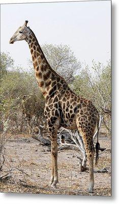 Giraffe Metal Print by Robert Shard