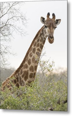 Giraffe Metal Print by Stephen Stookey