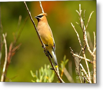 Glacier Cedar Waxwing Metal Print by Adam Jewell