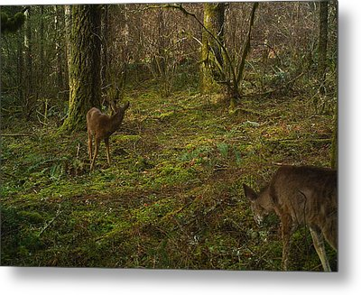 Glancing Back Metal Print by Steve Battle
