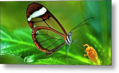 Metal Print featuring the photograph Glasswinged Butterfly by Ralph A Ledergerber