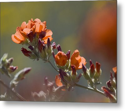 Globe Mallow Bloom Metal Print