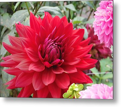 Glory Crimson Dahlia  Metal Print
