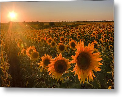 Glowing Sunflowers Metal Print by Scott Bean