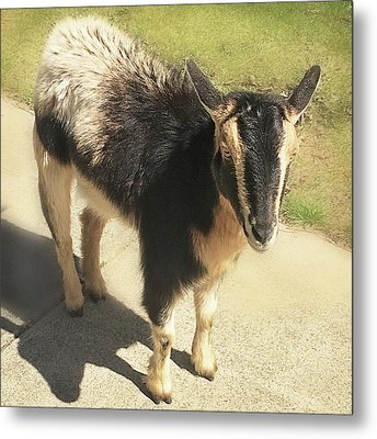 Goat Metal Print by Heather Applegate
