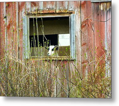 Goat In The Window Metal Print by Donald C Morgan