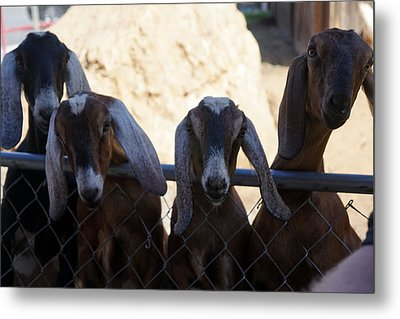 Goats On The Roof Metal Print by Laurie Perry