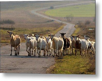 Goats Walking Home Metal Print