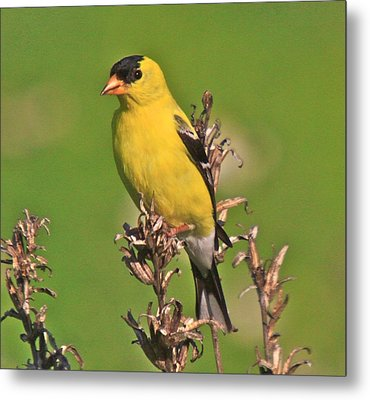 Gold Finches-6 Metal Print by Robert Pearson