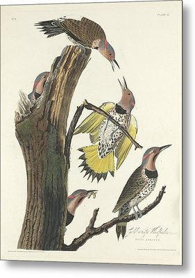 Gold-winged Woodpecker Metal Print