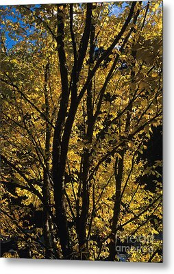 Golden Colors Of Autumn In New England  Metal Print by Erin Paul Donovan
