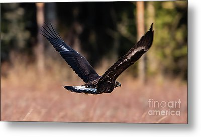 Metal Print featuring the photograph Golden Eagle Flying by Torbjorn Swenelius