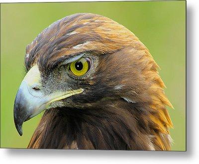 Golden Eagle Metal Print by Shane Bechler