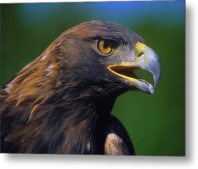 Golden Eagle Metal Print by Tony Beck