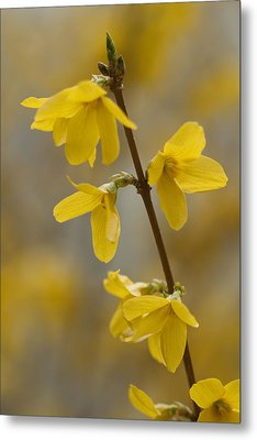 Golden Forsythia Metal Print