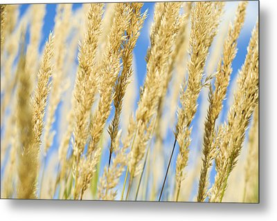 Metal Print featuring the photograph Golden Grains by Christi Kraft