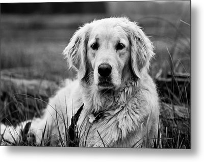 Golden Lab Metal Print by Cale Best