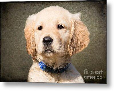 Golden Labrador Puppy Metal Print by Nichola Denny