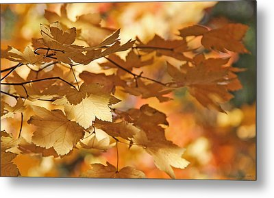 Golden Light Autumn Maple Leaves Metal Print by Jennie Marie Schell