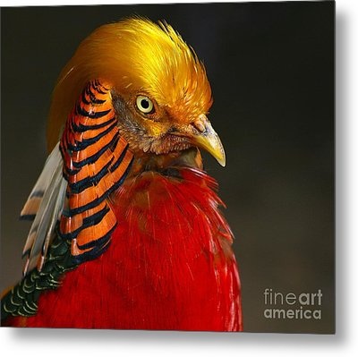 Metal Print featuring the photograph Golden Ornamental Pheasant by Debbie Stahre