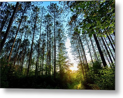 Golden Pines Metal Print