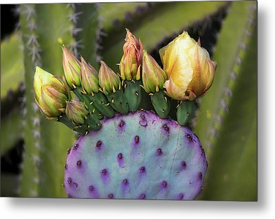 Metal Print featuring the photograph Golden Prickly Pear Buds  by Saija Lehtonen