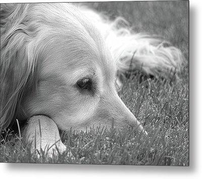 Golden Retriever Dog In The Cool Grass Monochrome Metal Print by Jennie Marie Schell