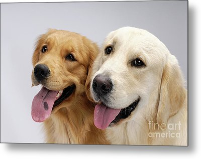 Golden Retrievers Metal Print by Oleksiy Maksymenko
