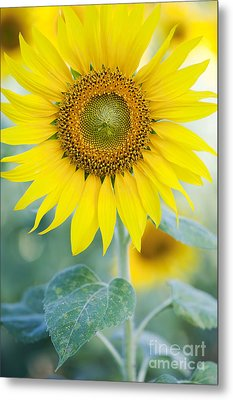 Golden Sunflower Metal Print by Tim Gainey