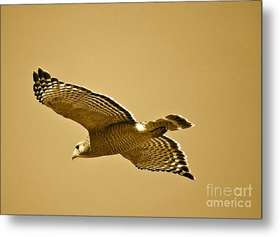 Golden Sunlight On Hawk Metal Print by Carol Groenen