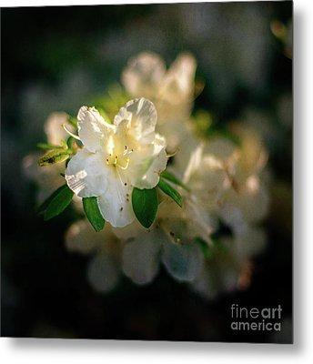 Golden White Azaleas Metal Print by Tamyra Ayles