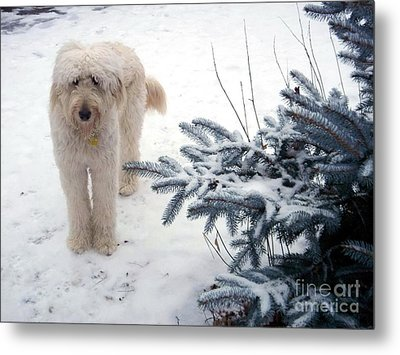 Goldendoodle Metal Print by Andrea Kollo