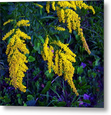 Metal Print featuring the photograph Goldenrod by Shawna Rowe