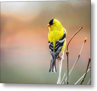 Goldfinch At Sunrise Metal Print