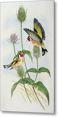 Goldfinches Metal Print by John Gould