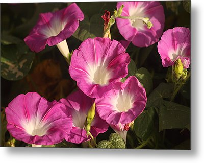 Metal Print featuring the photograph Good Morning, Glory by Sheila Brown