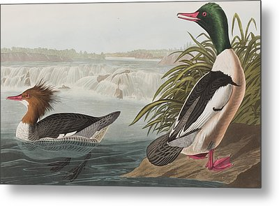 Goosander Metal Print by John James Audubon